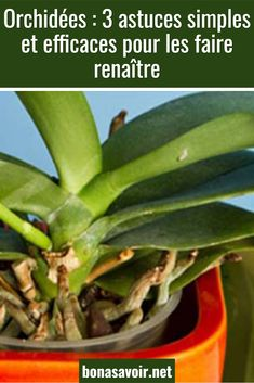 Orchids: 3 simple and effective tips to revive them - - Foliage Plants, Potted Plants, Amazing Gardens, Beautiful Gardens, Belle Plante, Potager Garden, Plantation, Permaculture, Diy Garden Decor