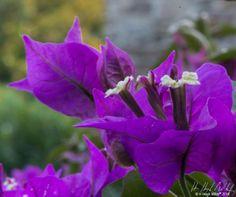 #floral #photography #hhughmiller #flower #purple
