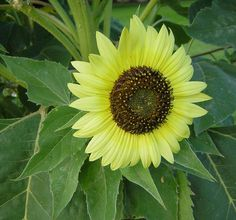 New Sunflower Pots Helianthus Annuus Choco Sun Bees Butterflies​ Birds 10 Seeds Planting Seeds, Planting Flowers, Annual Flowers, Sunflower Seeds, Flower Wallpaper, Cut Flowers, Detail, Plants, Nifty