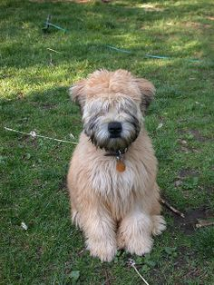 The Whoodle... Wheaten Terrier and Standard Poodle cross ...
