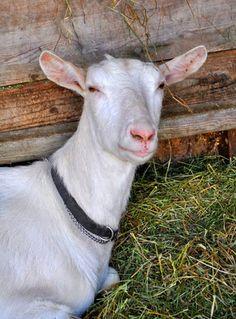 Saanen goat from Sharyn Sowell's Art Blog