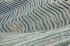 La hermosura geométrica de los campos de té en Mong Mao, Myanmar. | Matemolivares