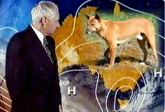 Dingo Lady: Dingoes v Alan Wilkie by Berenice Walters 1977