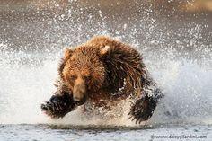 Osito grizzly de pesca, en el Parque Nacional de Katmai, Alaska, Estados Unidos Foto: Daisy Gilardini Photography, vía Facebook.