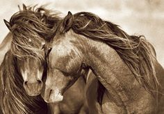 Horse/ Wild horses of Sable Island by Angela