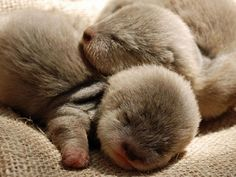 sleeping baby otters!!!!! - DYING of cuteness!