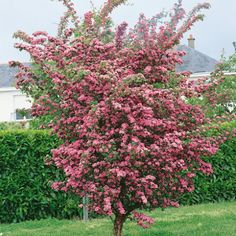 Planted this in April 2016. Red hawthorn - Crataegus laevigata 'crimson cloud'. Height and spread in 20 years 5m x 4m. Well suited to exposed cold and windy gardens. Non-evergreen. Apply some general fertiliser ever Spring.