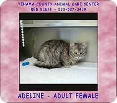 Red Bluff, CA - Domestic Longhair. Meet ADELINE a Cat for Adoption.