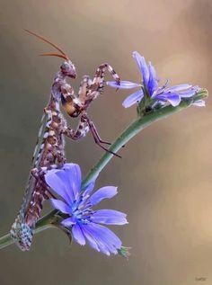 Praying Mantis?