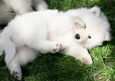 Samoyed puppy  By neoserenity333  Linda Geng