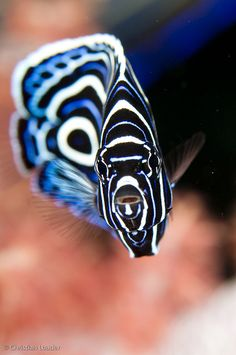 Juvenile Emperor Angelfish by Christian Loader.