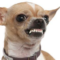 Chihuahua Aggression   I Love My Chihuahua