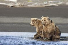 Grizzly Bear Yearlings On Shore, Katmai National Park, Alaska by Breiter, Matthias - Wall Art Giclee Print or Canvas