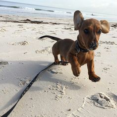 It's sausage boy Toby enjoying day on beach