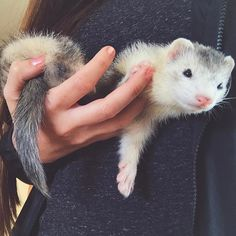 I think I'll take it easy today - after thirty minutes of insanity and ferret hedonism. Hamsters, Ferrets Care, Cute Ferrets, Rodents, Animals Of The World, Animals And Pets, Baby Animals, Pet Ferret, Cute Little Animals