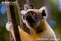 The golden-crowned sifaka is the smallest of the sifakas, and was first described in 1988. The coat is creamy white, and the common name is derived from the bright golden-orange crown; the...