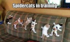 spidercats in training; cute kittens