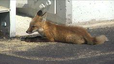 A fox gets loose at Pocono halting NASCAR XFINITY Series qualifying.