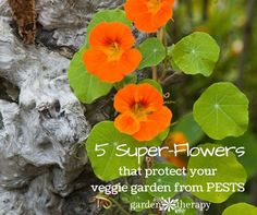 Adding flowers to your vegetable garden isn't just pretty, it's smart! There are many flowers with properties that act as a deterrent too many vegetable garden pests. In addition, flowers in the vegetable...