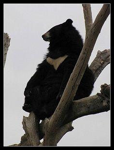 L'ours du Tibet ou ours à collier vit dans les forêts humide tropicales et les bois de chênes à feuilles caduques, principalement dans les régions de collines et de montagnes, en Asie du Sud-Est, de l'Est et du Sud, également dans les montanges d'Afghanistan, du Pakistan, d'Inde, du Népal, Kampuchea et Vietnam.