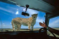 Cheetahs, Giraffe, Animals, Giraffes, Animales, Animaux, Cheetah, Animal, Animais