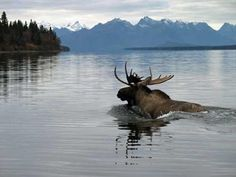 Grizzly Bear Chasing Moose in the River - Wild Animal Interaction Alaska, Wild Animals Photos, Bull Moose, Arctic Animals, Fall Pictures, Endangered Species, Predator, Pet Birds, Animals Beautiful