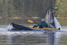 Did a kayaker cross the gaping jaw of a humpback whale?.............................fake