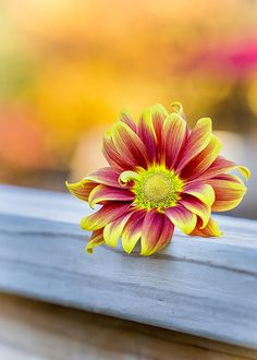 A seasonal daisy fill with the colors of fall. Bursting orange and yellow petals with autumn colors in the background
