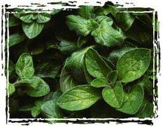 Greek Oregano can be used for. Plant Sale, Harvest, House Plants, Herbs, Plants, Garden, Side Yard, Flowers, Fresh Herbs