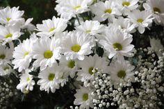 #1644748, daisy category - Free download daisy wallpaper