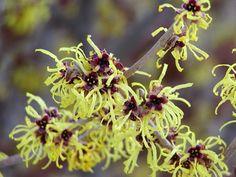 Witch Hazel |  Hamamelis intermedia 'pallida' | Zones 5-9 | Blooms January-March | fragrant | deer resistant | large shrub