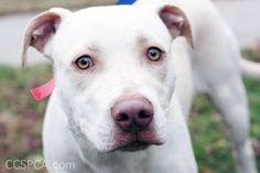 White Pitbull Lab Mix Puppies animals Lab mix puppies