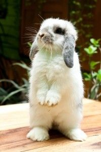 How to Clicker Train Your Rabbit...