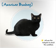 Black Cat Appreciation Day is August 17. Did you know black cats, like the American Bombay, are 15% less likely to be victims of an accident or injury compared to their colorful kitty counterparts?