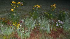when the Iris stop blooming then the day lilies begin to put on a show