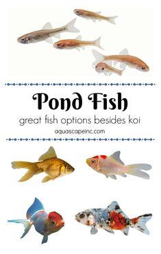 For Your Water Garden - Other Pond Fish to Enjoy Besides Koi #watergarden