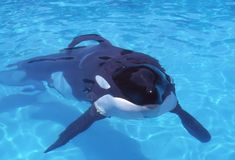 Keiko The Whale Wallpapers Keiko the whale grave keiko Keiko Orca, Orcas In Captivity, Animals And Pets, Cute Animals, Ocean Creatures, Killer Whales, Sea World, Ocean Life, Marine Life
