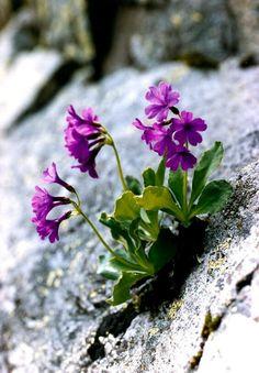 Beautiful purple flowers for your garden, wallpaper, wedding & bouquet Flowers Nature, Purple Flowers, Wild Flowers, Beautiful Flowers, Exotic Flowers, Pink Roses, Alpine Garden, Alpine Plants, Rock Plants