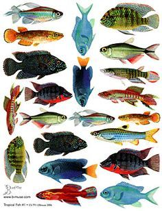vintage fish illustrations - Buscar con Google