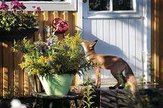 Kettu haistelee kukkia Herttoniemen siirtolapuutarhassa kesällä 2012. | Kuvakooste esittelee Herttoniemen citykettujen elämää. Kuva: Vesa Oja / HS