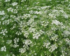 I'm going to grow copious quantities of coriander in my garden, not just in the vegetable patch! It will make the perfect replacement for cow parsley I so loved in England. You can use the whole plant roots, seeds & all & it looks fab!