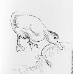 Duck Sketch / Around the water cooler. Art Painting, Animal Art, Sketches, Animal Drawings, Animal Sketches, Art Drawings Sketches, Art, Bird Drawings, Art Sketches