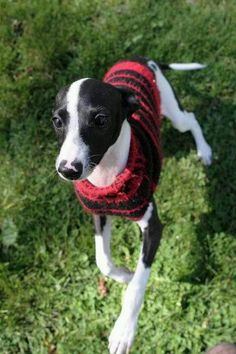An adorable Italian Greyhound enjoying the cooler Fall temperatures?  Just like us!