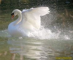Getting In A Lather - Swan