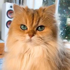 Smoothie the Cat ( Pretty Cats, Beautiful Cats, Animals Beautiful, Cat Leash, Cat Harness, Cute Kittens, Cats And Kittens, Cat Traps, Orange Tabby Cats