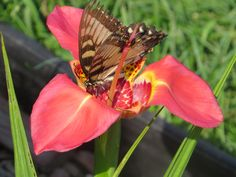 Tigridia flower with possibly a Great Spangled Fritillary butterfly
