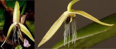 Bulbophyllum nocturnum