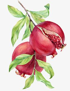 Watercolor illustrations for drinking vinegar packaging by Kateryna Savchenko Watercolor Flower Background, Watercolor Fruit, Watercolor Paintings, Pomegranate Drawing, Pomegranate Art, Fruit Illustration, Watercolor Illustration, Botanical Drawings, Botanical Art