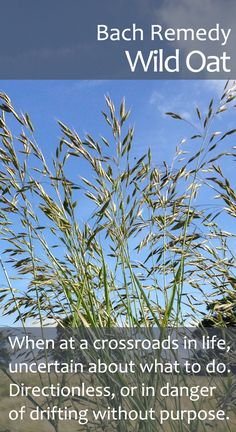 Bach Flower Remedy, Wild Oat - When we are at a crossroads in life and in danger of drifting without direction, this remedy helps us to clarify our ideas, ambitions and purpose.