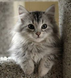 Beautiful gray kitten, love the soft gray and cream coloring...